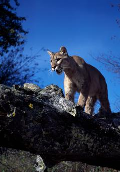 The mountain lion was killed by park officials Photo: Getty Images