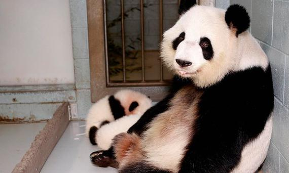Lun Lun with earlier set of twins, Mei Lun and Mei Huan, in 2013. Photo: Reuters