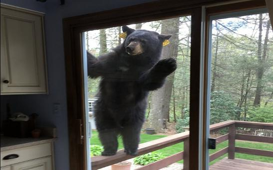 A bear gives a woman cooking brownies a big surprise Photo: Courtesy of Bob Belfiore via WFSB Hartford